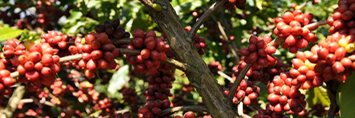 Seleção das 20 amostras de café arábica no Prêmio Cafés Especiais do ES